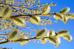 Spring sunny flowers in Moscow. Willow spring sunny flowers in Moscow in daytime on blue sky background royalty free stock image