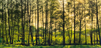 Spring sunny forest. Stock Photography