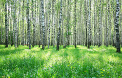 Spring sunny green grass and birch forest Stock Images