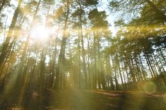 Spring sunny landscape in a pine forest in bright sunlight. Cozy forest space among the pines, dotted with fallen cones and conif royalty free stock image