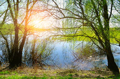 Spring sunny landscape - willow under sunshine on the bank of the small river Royalty Free Stock Photos