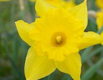 Spring Sunny Narcissus Daffodil Yellow closeup. Narcissus is a genus of predominantly spring perennial plants of the Amaryllidaceae amaryllis family. Various Stock Images