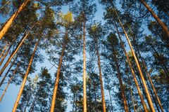 Spring sunny tall pines at sunset day stock photos