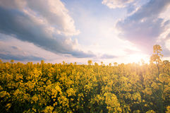 Spring sunny yellow field Stock Image
