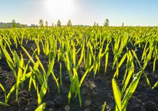 Spring, sunrise over barley crops in dew drops close-up stock photos