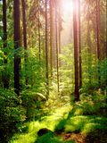 Spring sunset in deep green forest Royalty Free Stock Photography
