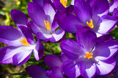 Spring sunshine on purple crocus Stock Image