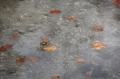 Free Spring Surprise, Frog In The Ice, Stock Photo - 140328510