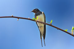 Spring Swallow Sitting on Tree Branch Royalty Free Stock Photography