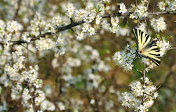 Spring Swallowtail Butterfly Stock Photography