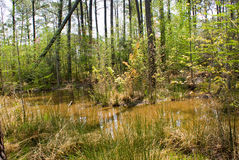 Spring Swamp Royalty Free Stock Photo
