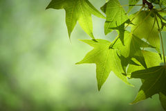 Spring Sweetgum Leaves on Branch Isolated Against Soft Green Can Stock Image