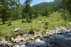 Spring in the Swiss alps. Spring time on a meadow Switzerland Royalty Free Stock Photo