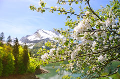 Spring in Switzerland. Blossom tree Stock Photography
