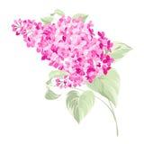 Spring syringa flowers background Stock Photos