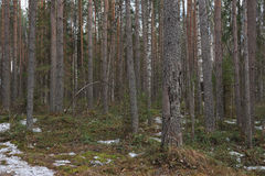 Spring in taiga Stock Photography