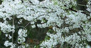 Spring, Taiwan, cherry blossom, full bloom, season, Wuling farm, white, fog, cherry blossom stock video