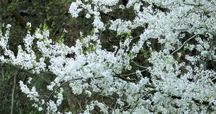 Spring, Taiwan, cherry blossom, full bloom, season, Wuling farm, white, fog, cherry blossom stock footage