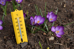 Spring Temperatures. A thermometer next to violet crocuses that suggests rising temperatures in spring Royalty Free Stock Photos