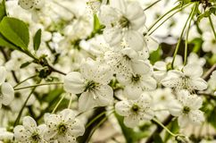 Spring tender bunch flowers of cherry tree Royalty Free Stock Images
