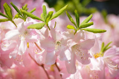 Spring tenderness 1. Springtime flowers beauty. soft pink rhododendrons Stock Photography