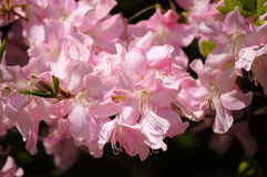 Spring tenderness 2. Springtime flowers beauty. soft pink rhododendrons Royalty Free Stock Images