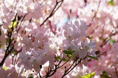 Spring tenderness 3. Springtime flowers beauty. soft pink rhododendrons Royalty Free Stock Images