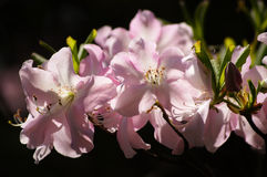 Spring tenderness 4. Springtime flowers beauty. soft pink rhododendrons Stock Photo