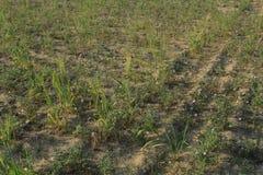 Spring 2017 thall desert. Chikpea fields in the thall desert spring 2017 Royalty Free Stock Image