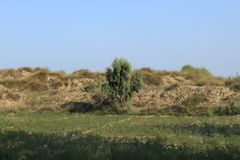 Spring 2017 thall desert. A native tree of thall desert in a chikpea field Stock Photography