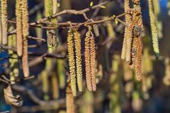 Spring: Male inflorescences of hazelnut, Corylus avellana. In the spring, their pollen causes many allergies suffering from hay fever pollinosis. If the male stock photography