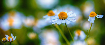 Spring theme with chamomiles. A chamomile bouquet from a spring field Royalty Free Stock Photos
