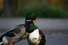 Mating season, these ducks are fighting for the female duck royalty free stock photo