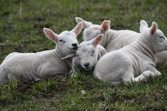 Spring is there for the new born lambs, finaly outside Stock Photography