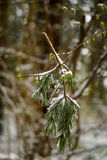 Broken tree branck in early spring covered in snow. Royalty Free Stock Photography