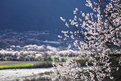 Spring in the Tibetan Plateau Royalty Free Stock Images