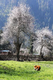 Spring in the Tibetan Plateau Royalty Free Stock Image