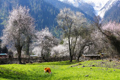 Spring in the Tibetan Plateau Royalty Free Stock Photography