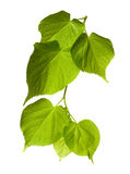 Spring tilia leafs Royalty Free Stock Images
