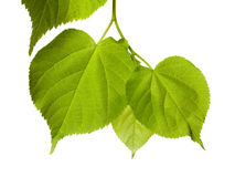 Spring tilia leafs Stock Images