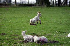 Spring Time!. Lamb jumping in field, slight motion blur on the jumping lamb Stock Photo