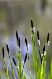 Spring time. Sedge Stock Photo