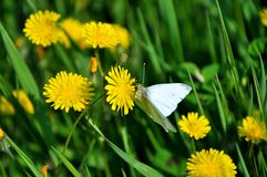 Spring time. Butterfly on a field of grass and yellow flowers in a park in Florence. Spring time concept stock images