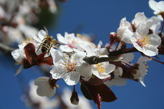 Spring time. Branch with beautiful flowers and a bee Stock Image