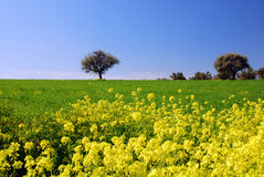 Spring time. Lonely tree in the distance behind blooming yellow flowers Stock Image