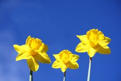 Spring time. Yellow daffodils with a blue sky as background Royalty Free Stock Images