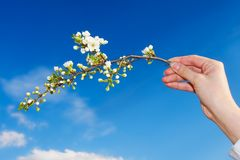 Spring Time. A woman hand holds an apple tree branch with flowers Royalty Free Stock Photography