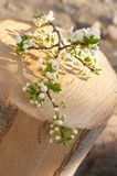 Spring Time. An apple tree branch with flowers on a log - small DOF - focus is on the flowers top right Royalty Free Stock Images