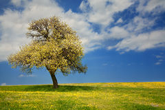 Spring time. Meadow with a tree in spring royalty free stock photos