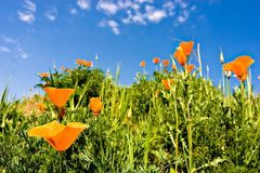 Spring Time. Orange poppies on a green field and a beautiful blue sky Royalty Free Stock Image